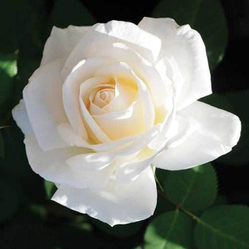 Rose 'Easy Spirit'
