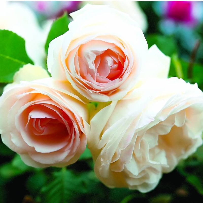 Rose 'White Eden Climber'