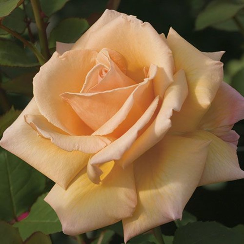 Rose 'Over the Moon'