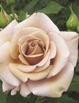Rose 'Koko Loko 3 gal