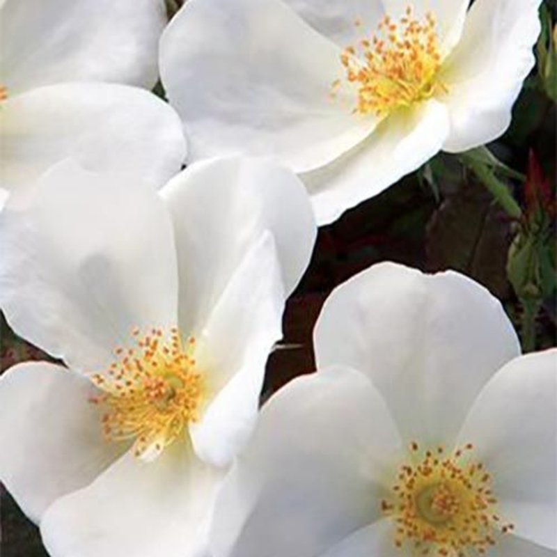 Rose 'Knock Out White 2 gal