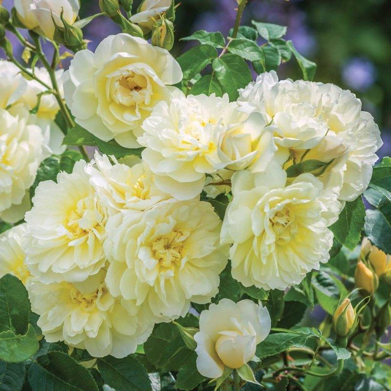 Rose 'Imogen'