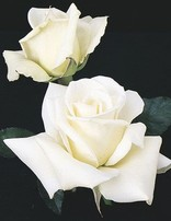 Rose 'John F Kennedy'