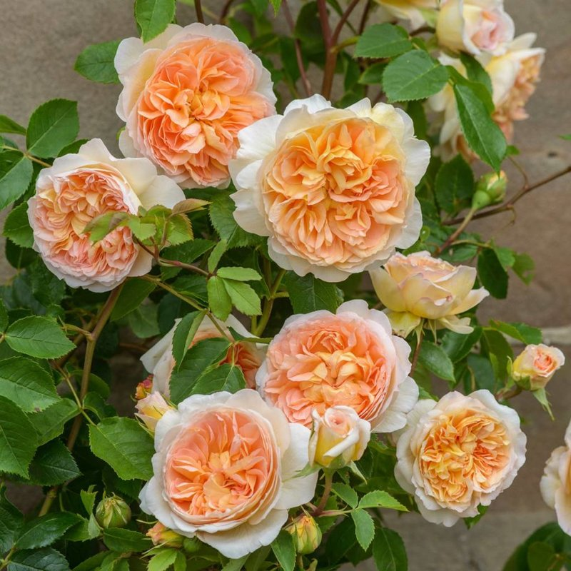 Rose 'Bathsheba'