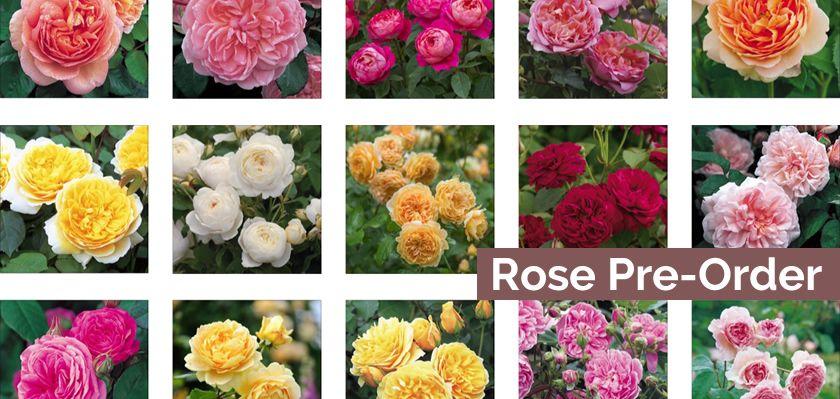 2019 Rose Pre-Order