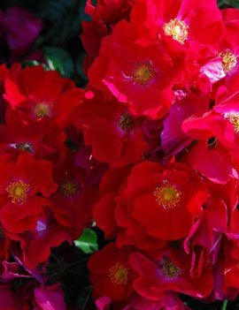 Flower Carpet Red
