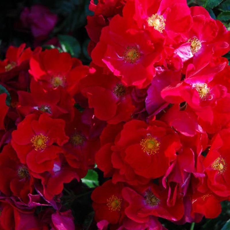 Rose 'Flower Carpet Red'