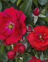 Rose 'Flower Carpet Scarlet'