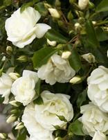 Rose 'Flower Carpet White'