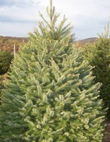 Douglas Fir Fresh Cut Christmas Tree
