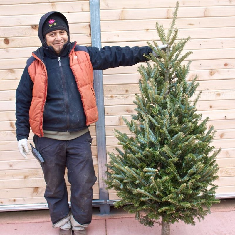 Fraser Fir Fresh Cut Christmas Tree