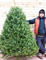 Grand Fir Fresh Cut Christmas Tree