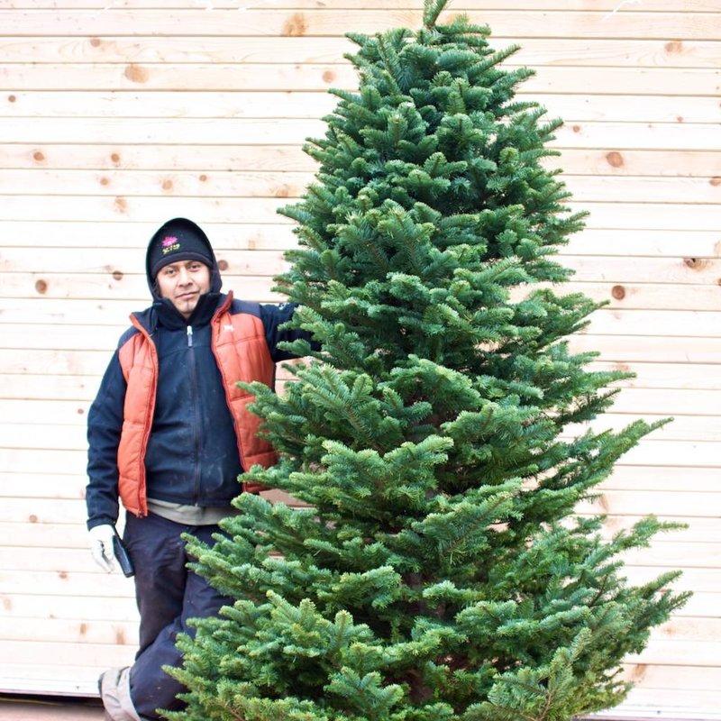 noble fir fresh cut christmas tree - Silvertip Fir Christmas Tree