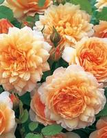 Rose 'Grace'
