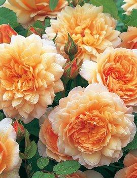 Rose Grace 5 gal