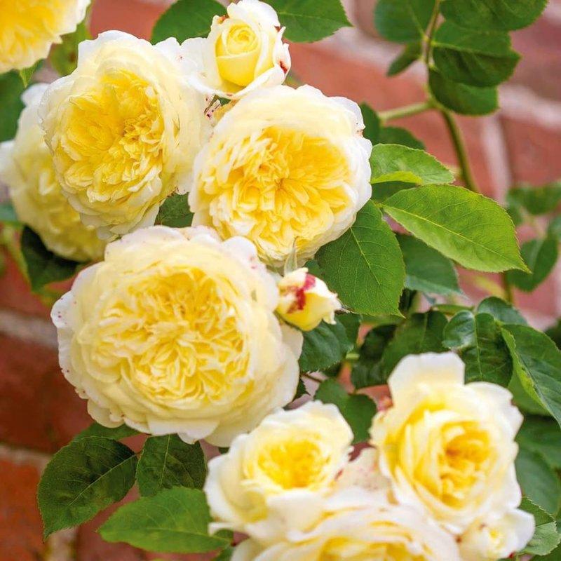 Rose 'The Pilgrim'