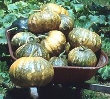Seminole Pumpkin Seed Packet
