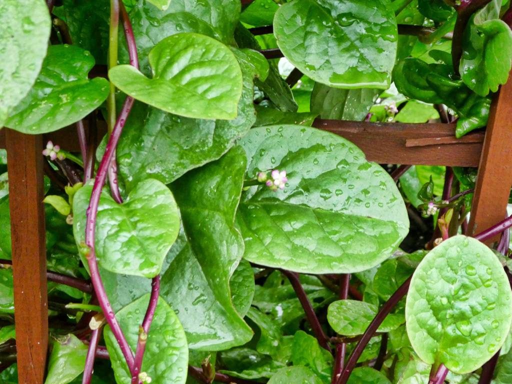 Red Malabar Spinach Seed Packet