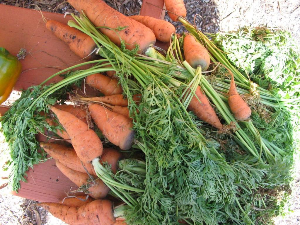 Carrot, Uberlandia