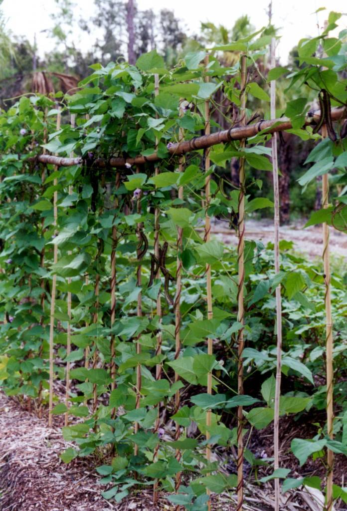 Winged Bean Seed Packet