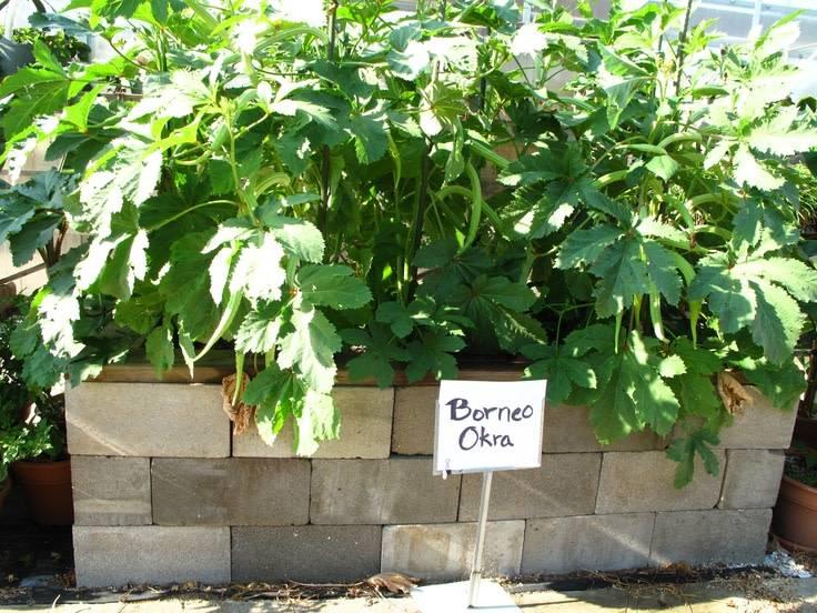 Borneo Okra Seed Packet