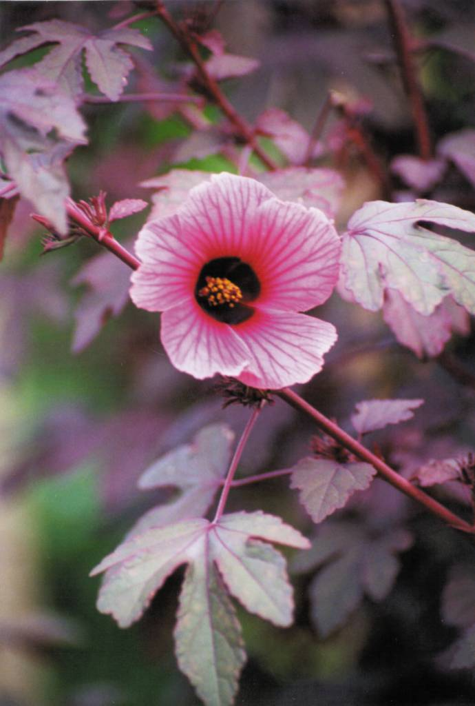 Cranberry Hibiscus Seed Packet