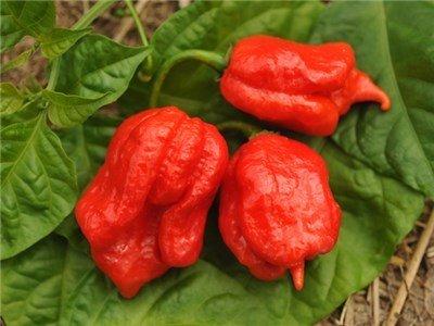 Baker Creek Seeds Pepper, Trinidad Scorpion