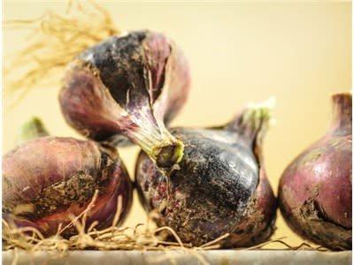 Baker Creek Seeds Onion, Red Creole