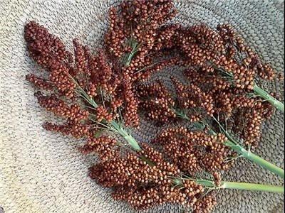 Baker Creek Seeds Sorghum, Ba-Ye-Qi