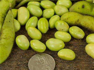 Baker Creek Seeds Soya Bean, Midori Giant