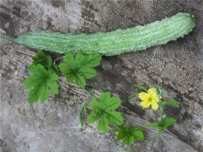 Baker Creek Seeds Bitter Melon, Satsuma Ohnaga