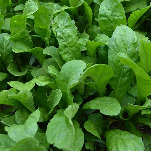 Seed Saver's Exchange Arugula, Apollo