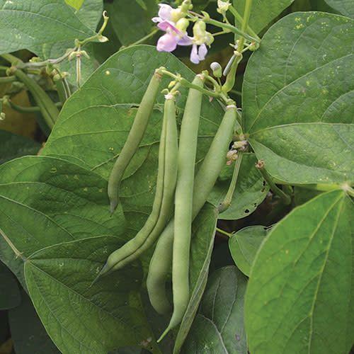 Seed Saver's Exchange Bean, Provider