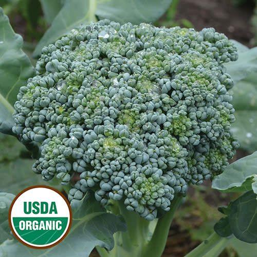 Seed Saver's Exchange Broccoli, De Cicco