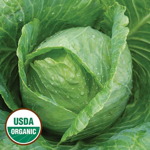 Seed Saver's Exchange Cabbage, Early Jersey Wakefield