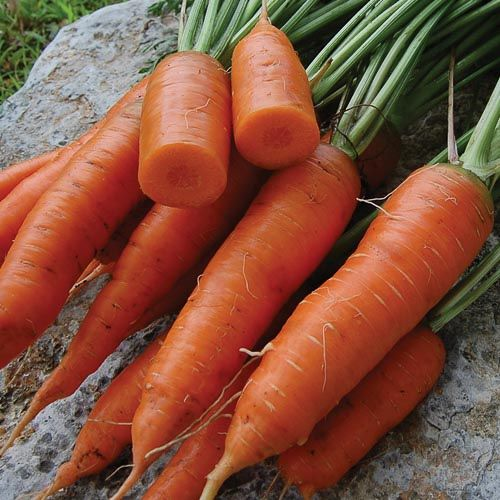 Seed Saver's Exchange Carrot, Red Cored Chantenay