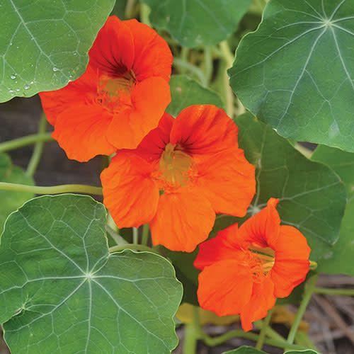 Seed Saver's Exchange Flower, Empress of India Nasturtium
