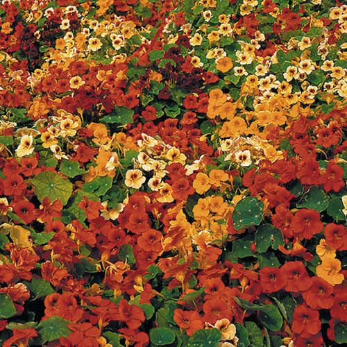 Seed Saver's Exchange Flower, Tip Top Nasturtium