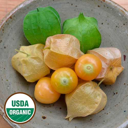 Seed Saver's Exchange Ground Cherry, Aunt Molly's