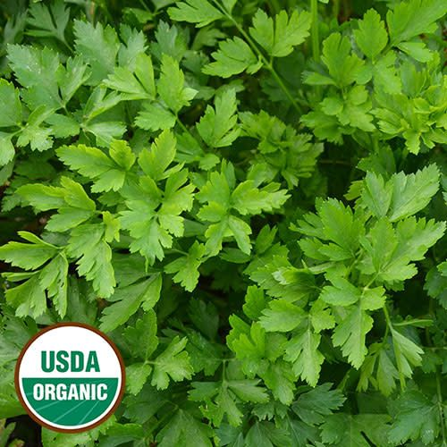 Seed Saver's Exchange Herb, Giant from Italy Parsley