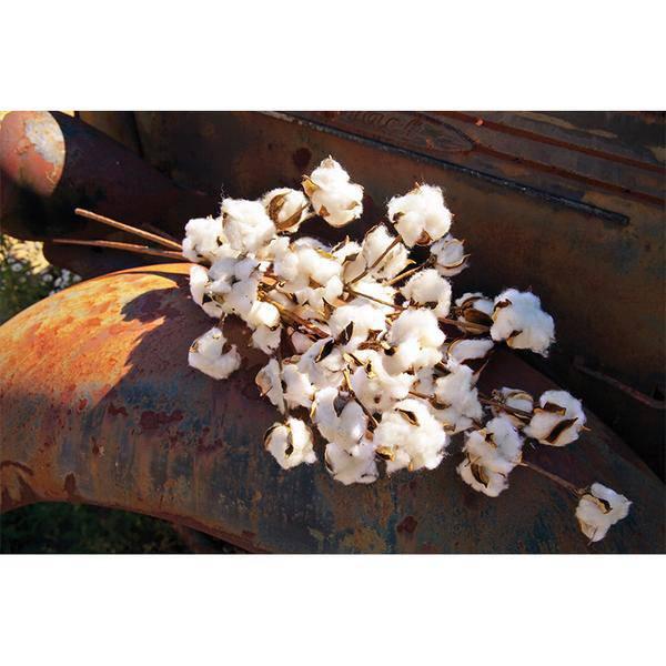 Cotton Stem